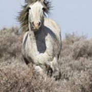 Wild Grey Stallion Runs Close Poster by Carol Walker