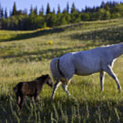 Wild Horses Near Glacier National Park Poster