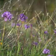 Wild Hyacinth At Sunset Poster