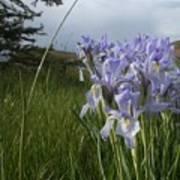 Wild Iris II Poster