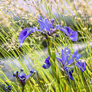 Wild Irises Poster by Marty Saccone