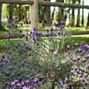 Wild Lavender Poster