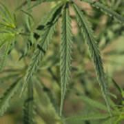 Wild Marijuana Leaves Near Burwell, Ne Poster