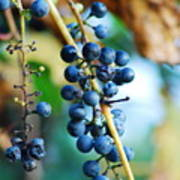 Wild Michigan Grapes Poster