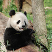 Wild Panda Bear Eating Bamboo Shoots While Leaning Against A Tre Poster