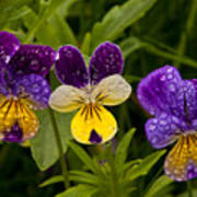 Wild Pansy Trio Poster