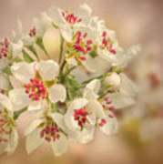 Wild Pear Blossom Poster