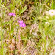 Wild Pink Dianthus Poster