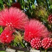 Wild, Red Fluffy Flowers  Poster