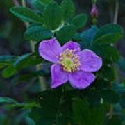 Wild Rose 1 Poster