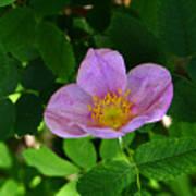 Wild Rose 4 Poster