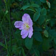 Wild Rose 6 Poster