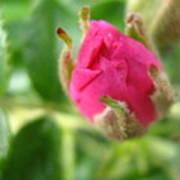 Wild Rose Bud Poster