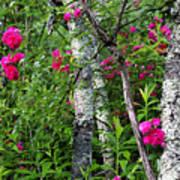 Wild Rose In Sumac Poster