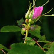Wild Rosebud Poster