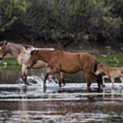 Wild Salt River Horses River Walk Poster