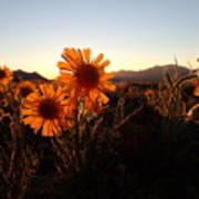 Wild Sunflowers Of Buena Vista Poster