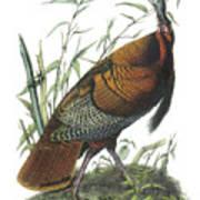 Wild Turkey Poster by John James Audubon