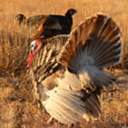 Wild Turkey Tom Following Hens Poster
