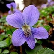 Wild Violet 1 Poster