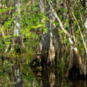 Wildflowers And Cypress Trunks In Florida Swamp Poster