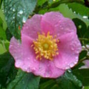 Wild's Pink Rose Poster