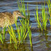 Willet Feeding In The Marsh 2 Poster