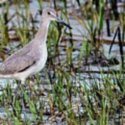 Willet On Beach Poster