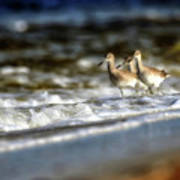 Willets In The Waves Poster