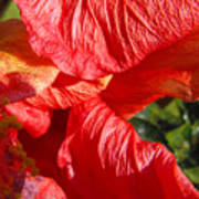 Wilting Hibiscus Two Poster