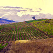 Wine Vineyard In Sicily Poster