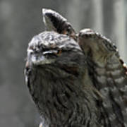 Wings Above A Tawny Frogmouth That Looks Interesting Poster