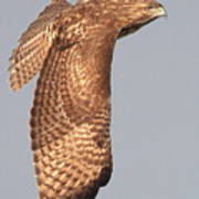 Wings Of A Red Tailed Hawk Poster