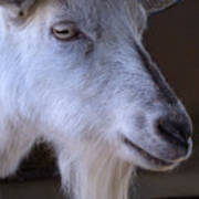 Winsome Goat Poster
