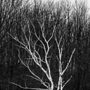 Winter Birch Poster