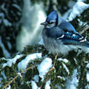 Winter Blue Jay Poster