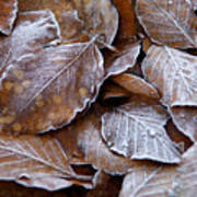 Winter Brown Leaves Powdered With Frost Poster