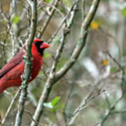 Winter Cardinal Sits On Tree Branch Poster