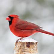 Winter Day Cardinal Poster