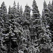 Winter Pine Spires Poster
