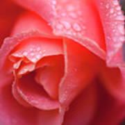 Winter Rose Three Poster