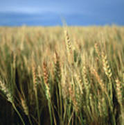 Winter Wheat In Linn, Kansas Poster