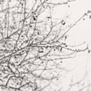 Winter's Berries In Black And White Poster