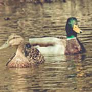 Wisconsin Ducks Poster