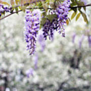Wisteria Poster by Darren Fisher