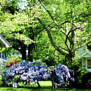 Wisteria On Lawn Poster