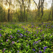 Wistow Wood Bluebells 1 Poster