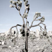 Withering Joshua Tree Poster