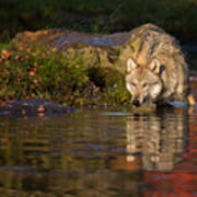 Wolf In Pond Poster
