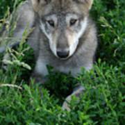 Wolf Pup Portrait Poster